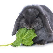 Cosa mangia il coniglio nano